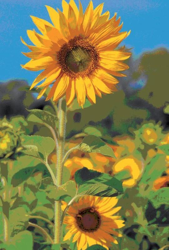 bsb-obpacher Grußkarte Sonnenblumen Gelb 10 Stück