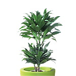 Plantes naturelles dépolluantes Dracaena Compacta